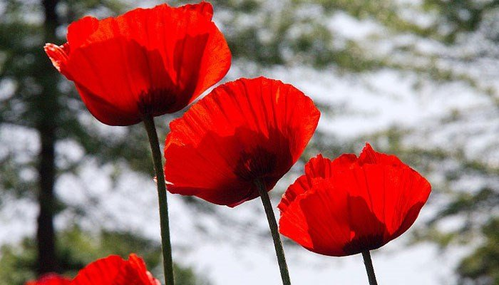"""The poppy became associated with Memorial Day because of the poem """"In Flanders Fields,"""" which includes the line """"In Flanders Fields the poppies blow/Between the crosses, row on row."""" (Source: Wikimedia Commons/Sarunis Burdules)"""