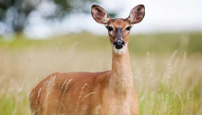 Deer crashes college cross-country race, topples runner