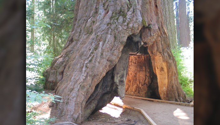 An iconic giant sequoia fell over the weekend, taking down by storms. (Source: NX1Z/Wikicommons)
