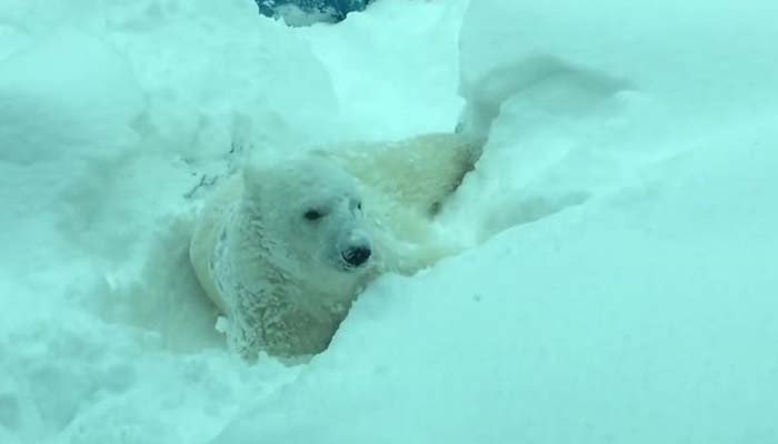 A polar bear making the most of snow in Oregon. (Source: Oregon Zoo/YouTube)