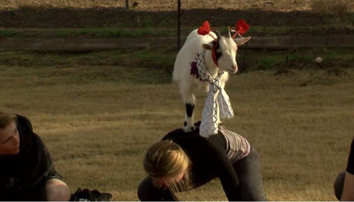 Is goat yoga the latest trend?