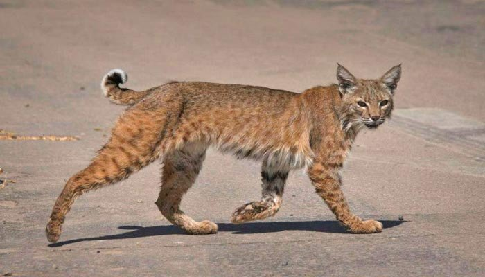 Bobcat named 'Ollie' missing after escaping at Smithsonian National Zoo