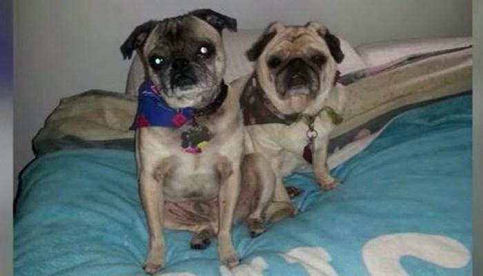 Nikki Mael's pugs got sick after eating dog food. One of them died. (Source: Nikki Mael/KATU/CNN)
