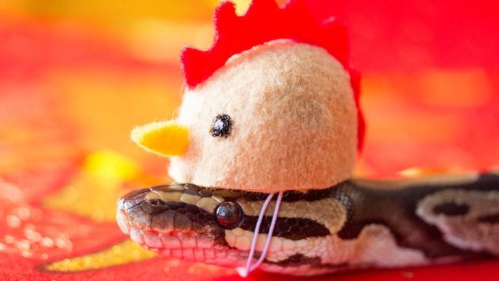 Snakey dressed as rooster. (Source: Facebook/@SnakeyPython)