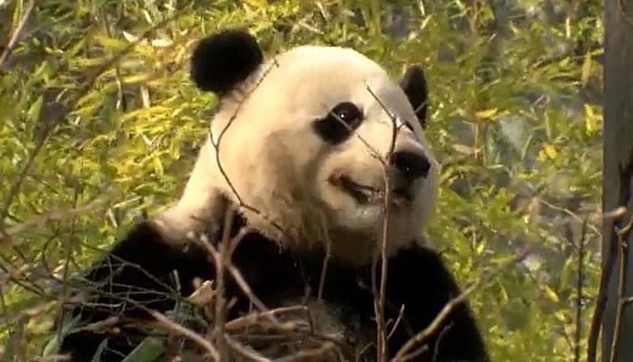 DC zoo prepares to say goodbye to giant panda Bao Bao