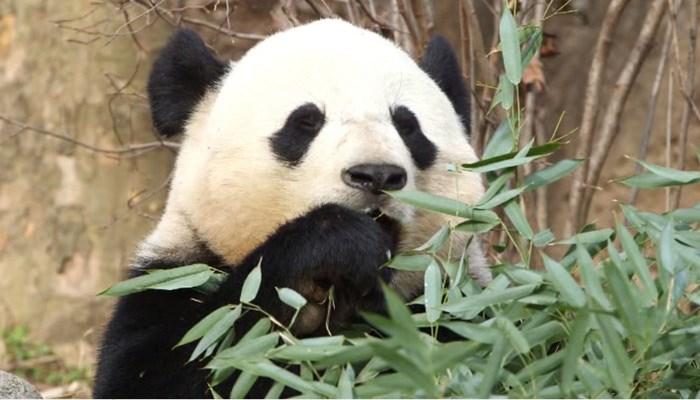 National Zoo Says Last Goodbye to Bao Bao