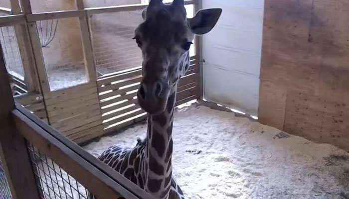 Giraffe watch: April's body continues to prepare for birth