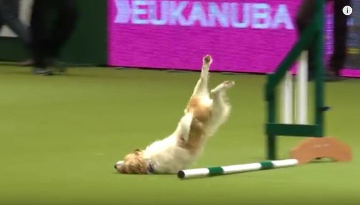 Poor Olly. But don't worry. He was OK. (Source: Crufts/YouTube)