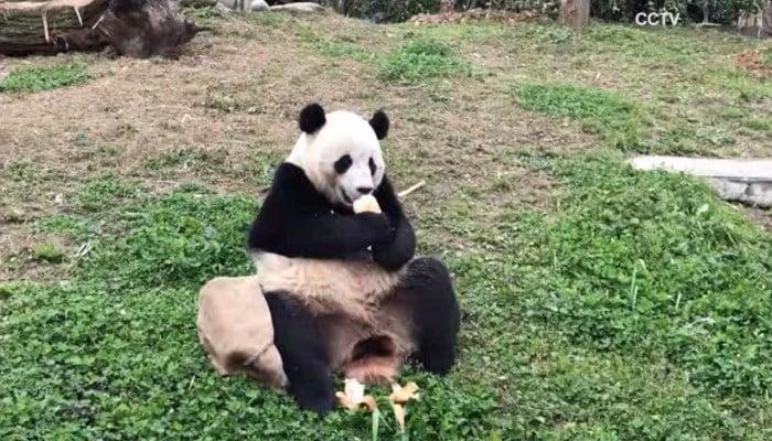 Bao Bao prepares to move into permanent China home