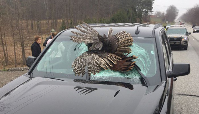 Family gets a shock when turkey crashes through windshield