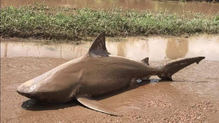 This bull shark was discovered in the middle of a road in Queensland, Australia after a Category 4 tropical cyclone. (Source: QLD Fire and Emergency)