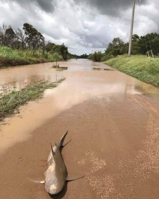 Another view of the bull shark emergency crews discovered in the middle of a muddy road after flooding caused by a cyclone. (Source: QLD Fire and Emergency)