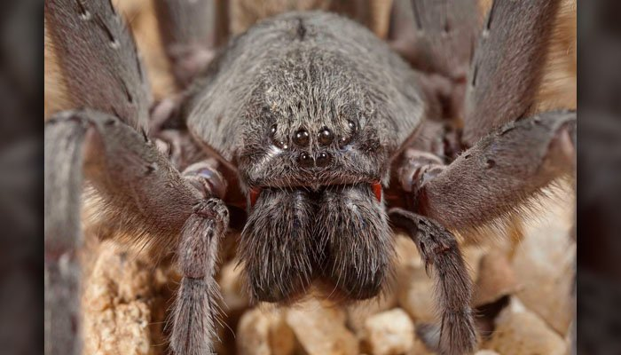 The red fangs are a nice touch. (Source: San Diego Natural History Museum)