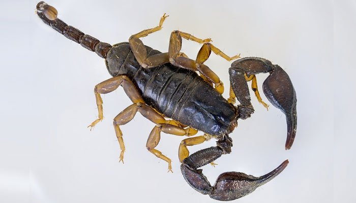 A United Airlines plane reportedly carried an extra and unwanted passenger, a scorpion, that stung a paying customer. (Source: Pixabay)