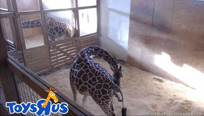 April the giraffe in NY giving birth before online audience
