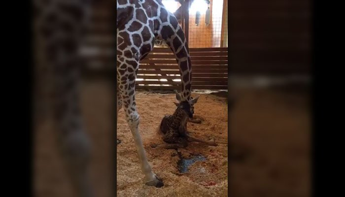 April cleans her new-born calf. (Source: Animal Adventure Park/Facebook)