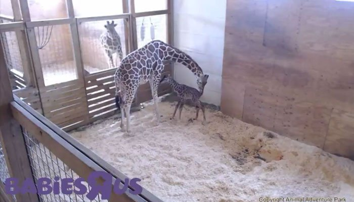 The giraffe calf stands for the first time on shaky legs. (Source: Animal Adventure Park via YouTube)
