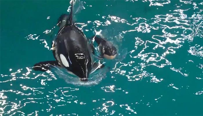 The new calf was born to 25-year-old Takara,who was pregnant when SeaWorld announced that they planned to end killer whale breeding in 2016. (Source: SeaWorld/CNN)