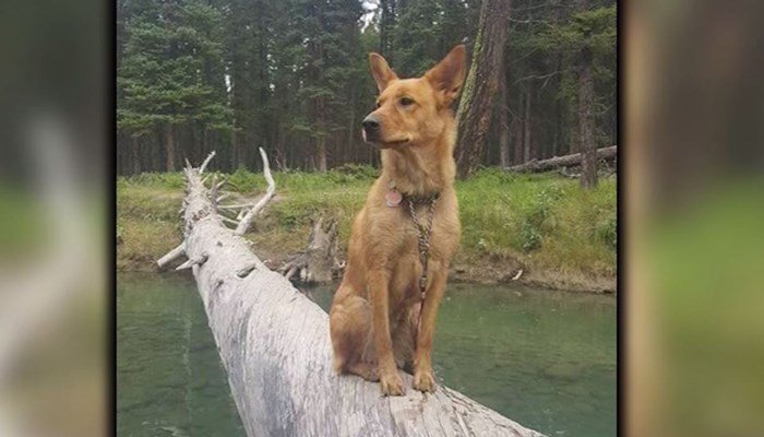 The hero dog who saved hikers poses majestically on a log that's over a stream. (Source: CNN)