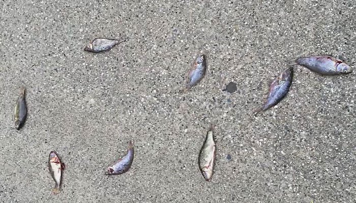 Students at a California kindergarten found fish on their playground, and they wondered whether the fish fell from the sky. (Source: KHSL)