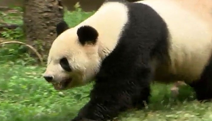 The panda mom at the National Zoo has been artificially inseminated. (Source: WJLA/CNN)