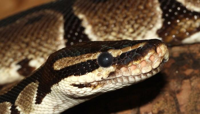 Ball pythons like to eat rats. (Source: Wikimedia Commons/Holleday)