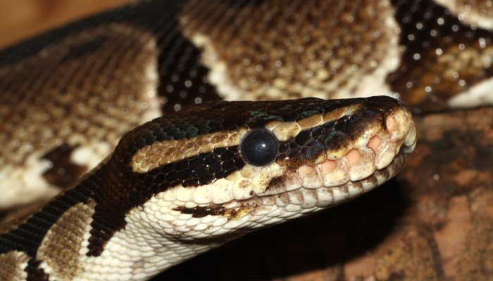 Ball pythons like to eat rats. (Source: Wikimedia Commons/Holleday)