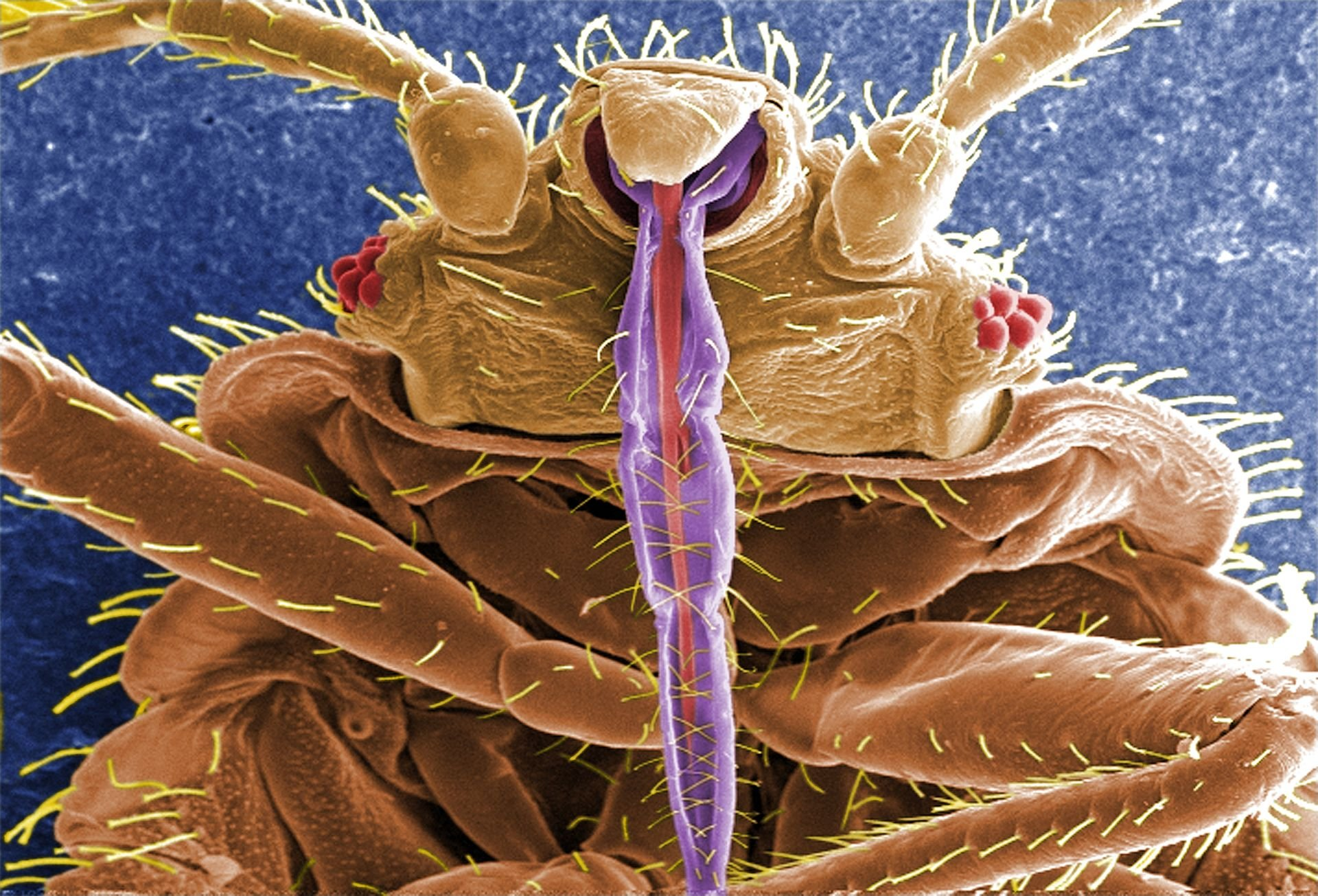 Closeup of a bedbug, a pesky insect that is notoriously difficult to get rid of. (Source: CDC)