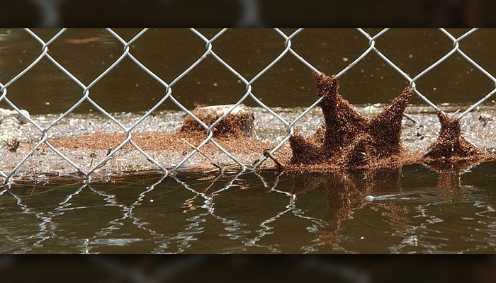 A swarm of fire ants cling to a chain link fence and floating debris Sept. 7, 2004 in Lithia, FL, after the Alafia river overflowed her banks when the remnants of Hurricane Frances passed through the area. (AP Photo/Chris O'Meara)