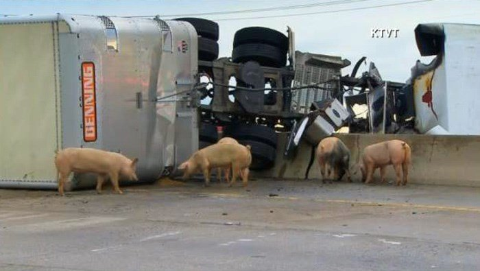 Pigs made their way out of acrashed tractor-trailer and onto a Dallas-area interstate, with some goingas far as a half-mile away before responders started to corral them. (Source: KTVT/CNN)