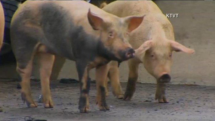 Pig hauler overturns, pigs on the freeway