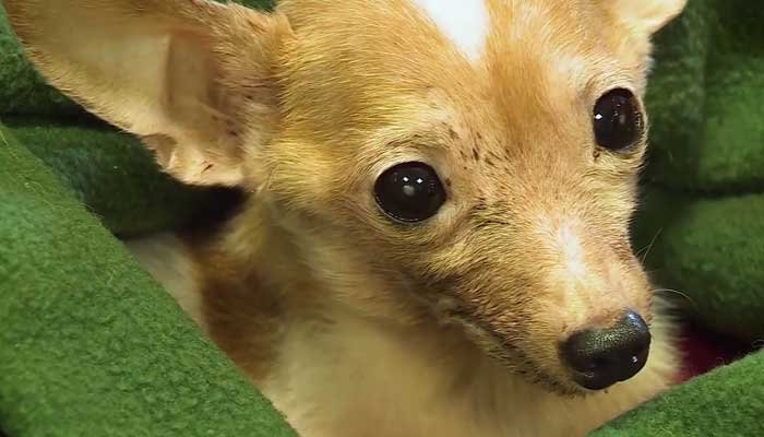 A tiny chihuahua found in the trash now has his health back and is giving back, helping his foster mother get through chemotherapy. (Source: WMTW/CNN/Viewer photos)