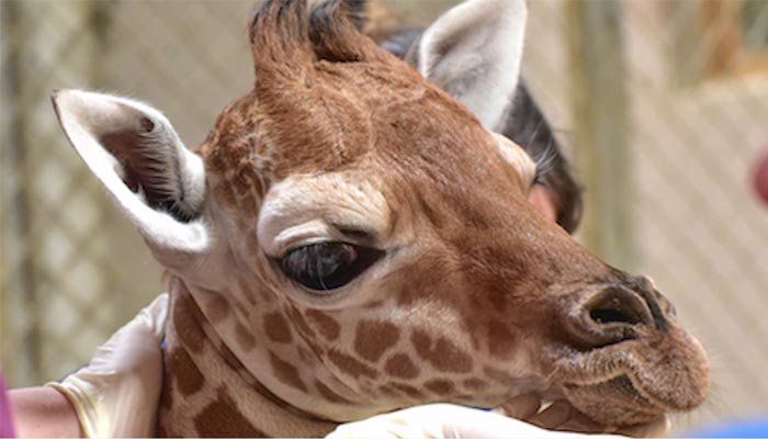 Veterinarianseven gave Julius a plasma transfusion to boost his immune system, but his condition took a turn for the worse on Friday. (Source: The Maryland Zoo/CNN)
