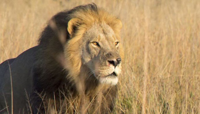 Cecil The Lion's Cub, Xanda, Killed By Trophy Hunter In Zimbabwe