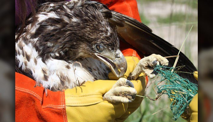 Biologists came to the aid of a young bald eagle who may have been poisoned. (Source: MyFWC photo by Karen Parker/Facebook)