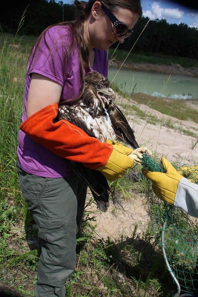 A biologist works to remove the eagle's talons from the net. (Source: MYFWC photo by Karen Parker/Facebook)