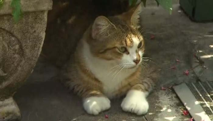 One of the famous polydactyl cats at the Hemingway House in Key West. (Source: CNN)