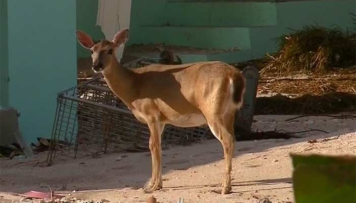 Among the destruction of Hurricane Irma, a Key deer was spotted walking around a destroyed home and picking through rubble. (Source: CNN)