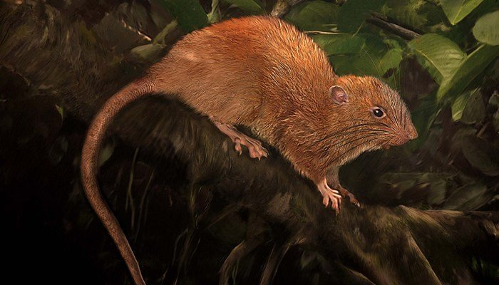 This is an illustration of the new species, Uromys vika. (Source: Facebook/Velizar Simeonovski/Field Museum)