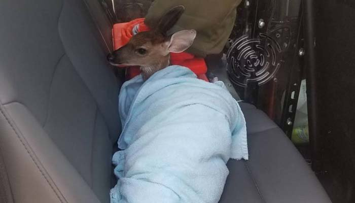This little deer learned not to swim under red flag conditions. (Source: Walton County Sheriff's Office/Facebook)