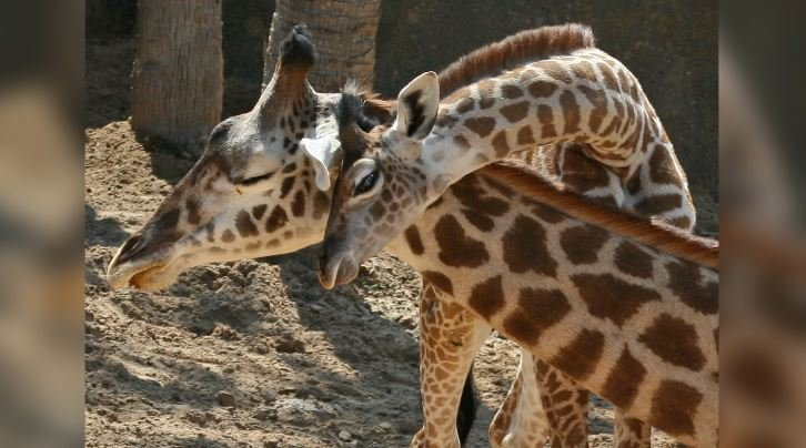 A baby and an adult giraffe – sadly, not Tajiri and April – cuddle at the Houston Zoo. (Source: Doug Finney/Flickr)