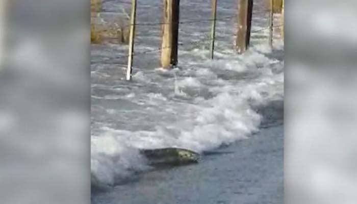 A salmon tries to swim across a flooded road. (Source: Alissa Joy Ewing via CNN)