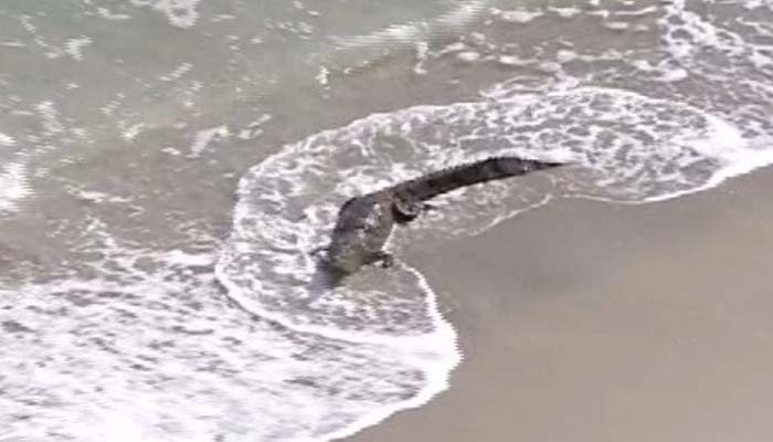 Foot Crocodile on Florida beach draws a crowd