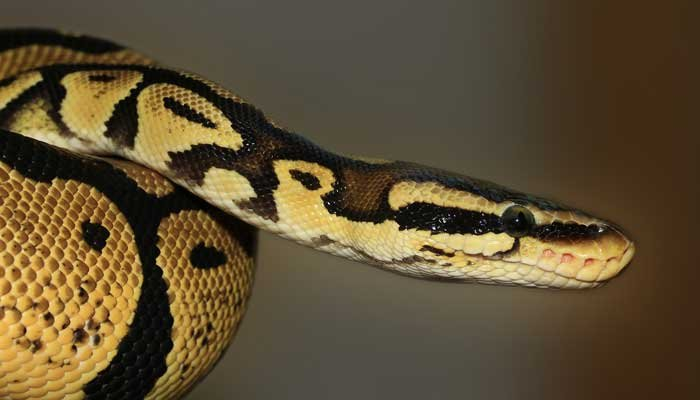 A young child found a ball python hiding in the family's toilet in a Seattle apartment complex.(Source: Pixabay)