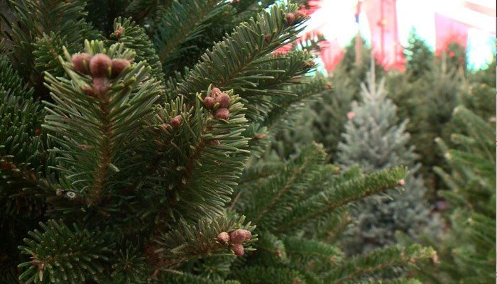 Local Tree Farms help families find the most ideal  Christmas Tree
