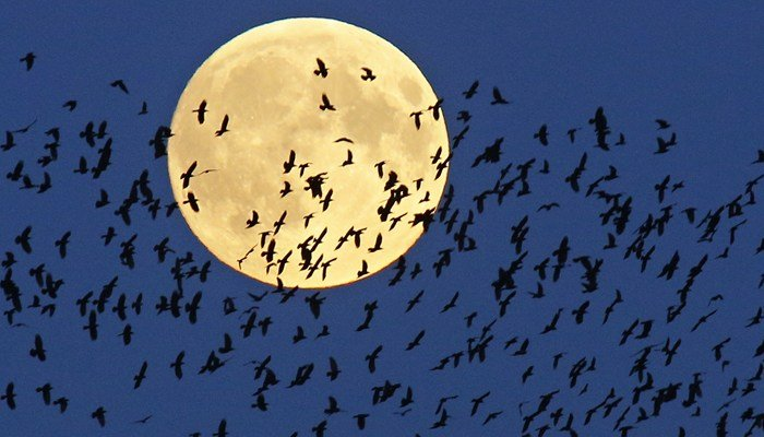 A flock of birds fly by the perogee moon- also called the super moon- because it is making its closest approach to the earth