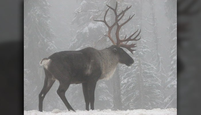 Loss of habitat and an increase in predators put mountain caribou on the brink. In all of North America, about 1,400 remain. (Source: Steve Forrest/USFWS - Pacific Region)