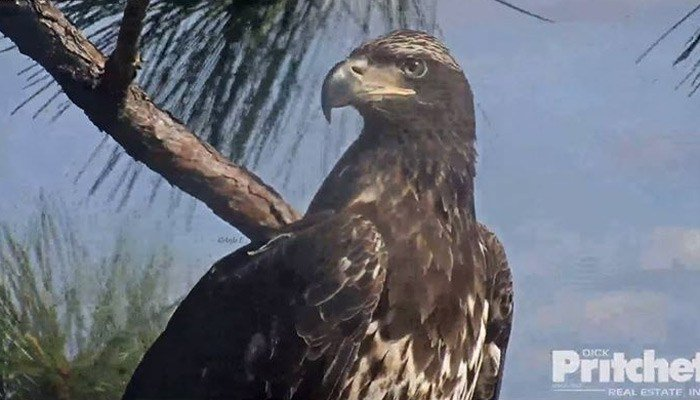 A juvenile bald eagle visited the nest tree while the male was on the nest 11 days ago. (Source: Southwest Florida Eagle Cam/Dick Pritchett Real Estate.)