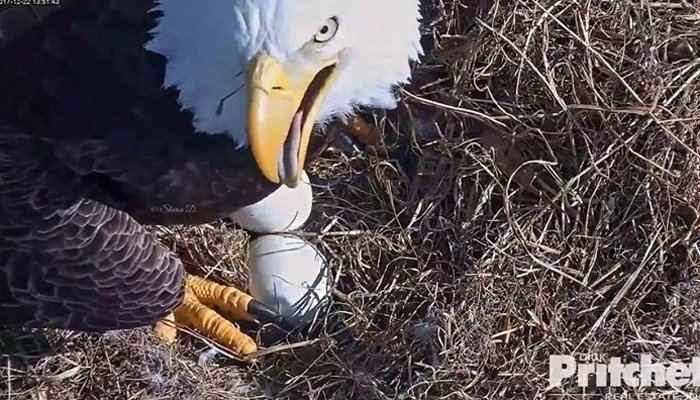 On day three of pip watch, there were no signs of a pip but Harriet and M15 kept close watch. (Source: Southwest Florida Eagle Cam/Dick Pritchett Real Estate.)