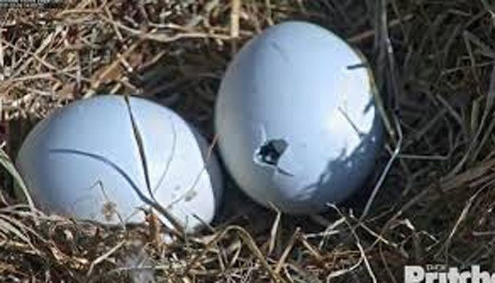 The baby eagle inside this egg is starting to peck his way out, chipping away at the shell. (Source: Southwest Florida Eagle Cam/Dick Pritchett Real Estate.)